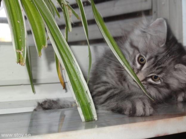 Tips! Köp Ampellilja istället för kattgräs