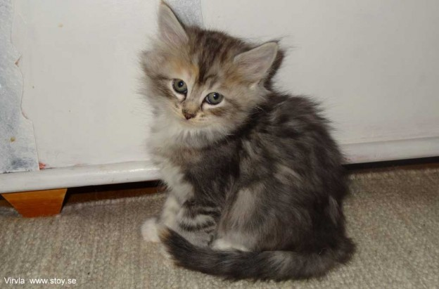 Kattungen Virvla 6 veckor