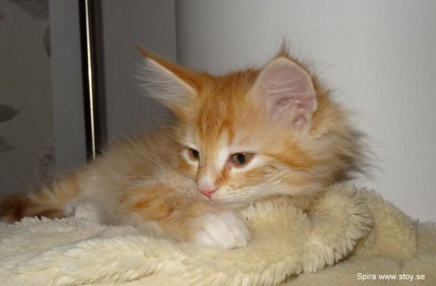 Kattungen Spira åtta veckor
