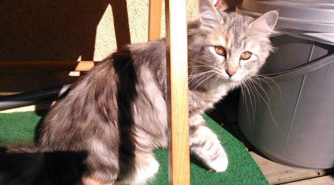 Sessan är en Norsk Skogkatt-fröken på 6 månader