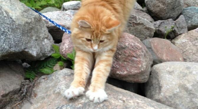 SE*Tjejens Spira, röd hona av norsk skogkatt