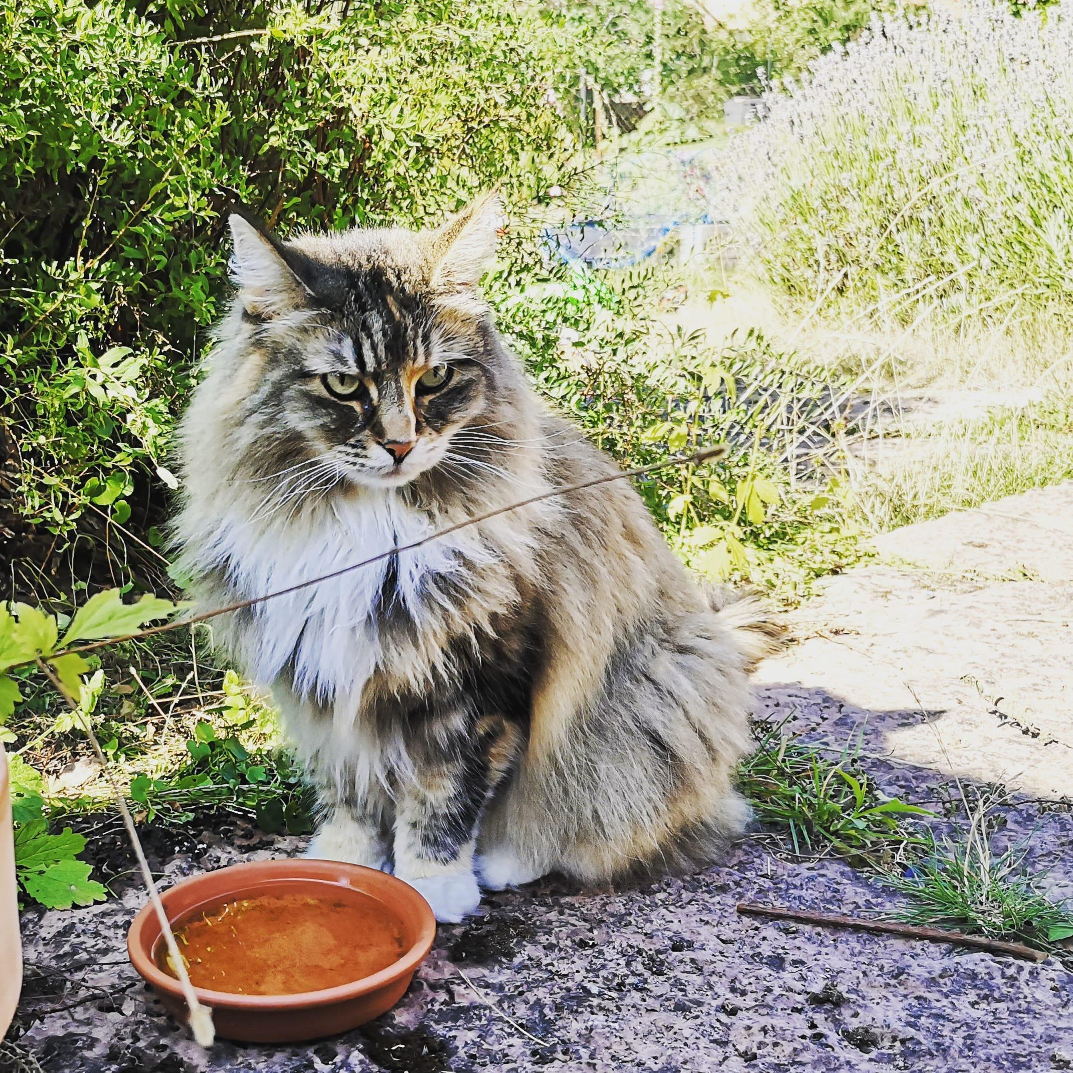Norska skogkatten Tjejen framför ett fat med vatten i trädgården
